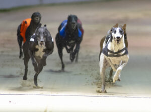 DESPERADO DAN (t4 right) leads Shoot The Bolt (t6) on the first lap of the opening Champion Stakes heat. Romford 4th September 2020. Photo: © Steve Nash